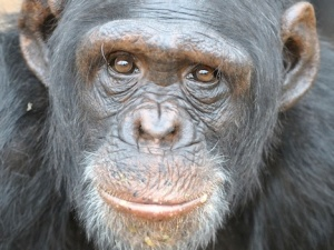 chimpanzee-jane-goodall-intro